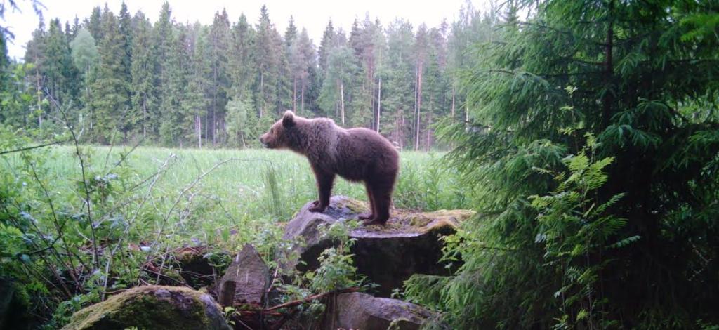 karhu kylällä
